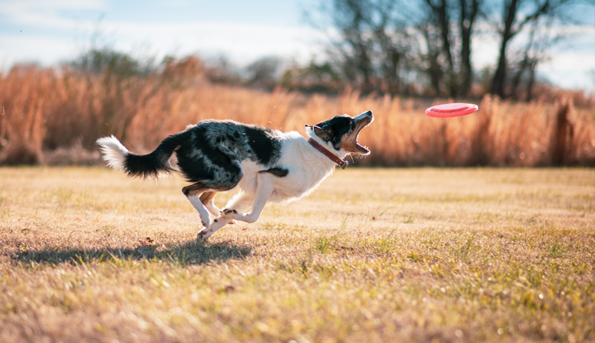 collie chasing a frisbee