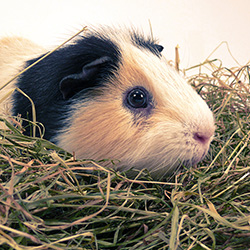 Guinea Pigs and other Small Animals
