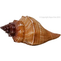 Hermit Crab Shell Mocha Stripe