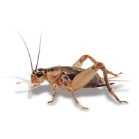 Live Crickets Large 34-45